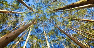 arboles eucalipto